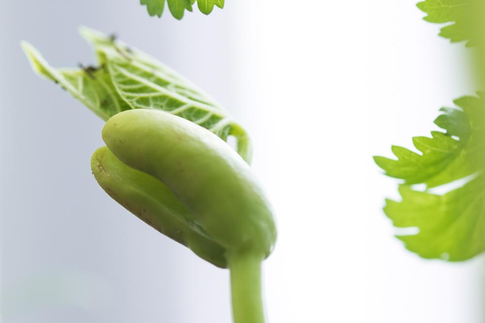 Grön böna i närbild