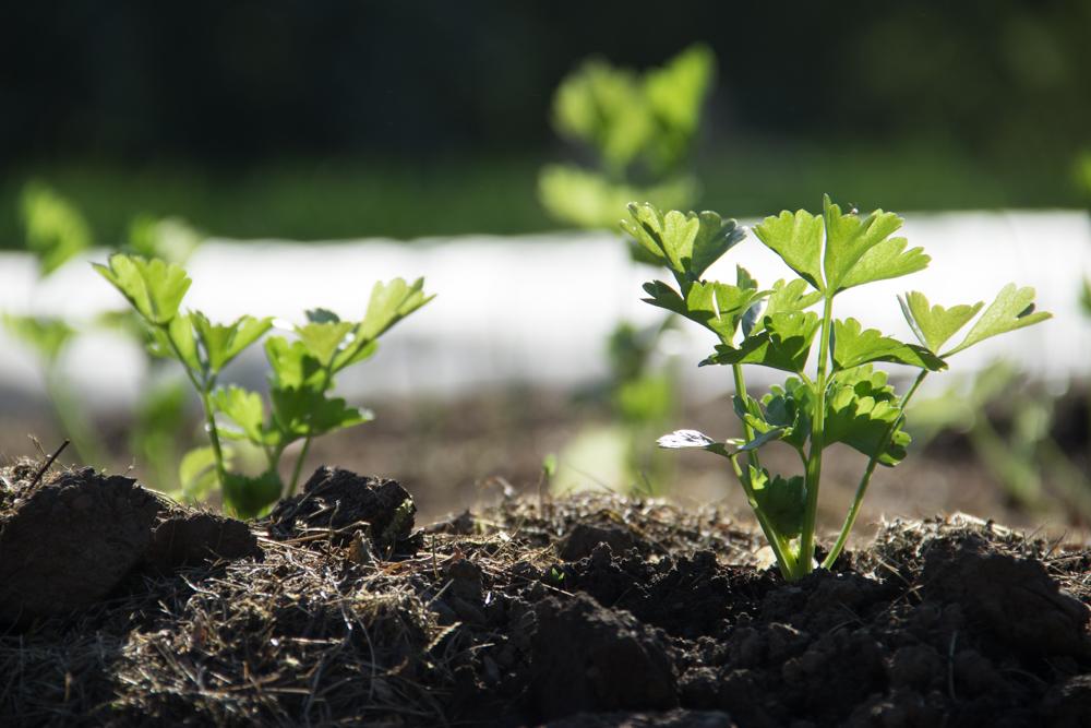 Nysådd grönska i landet